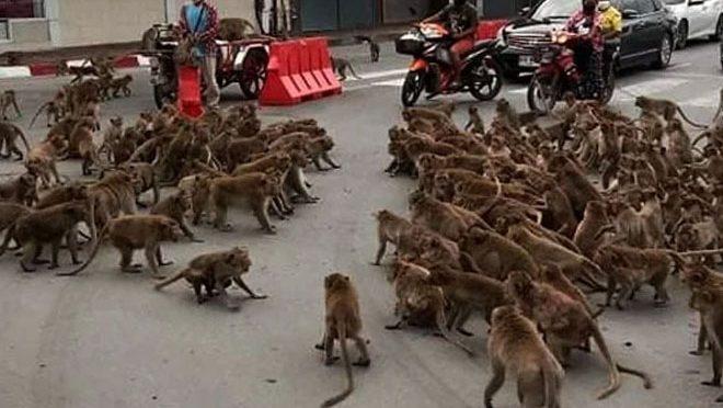 بندروں کی گینگ وارکی ویڈیو وائرل ہو گئی